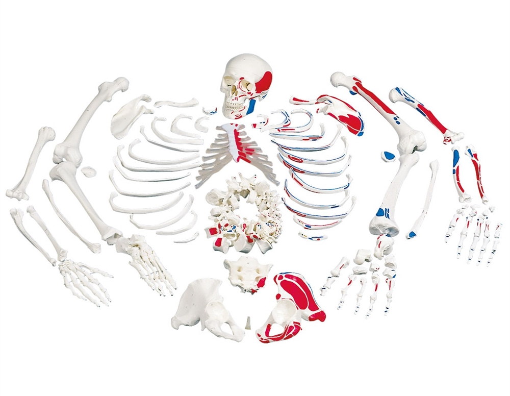 Disarticulated Plastic Skeleton