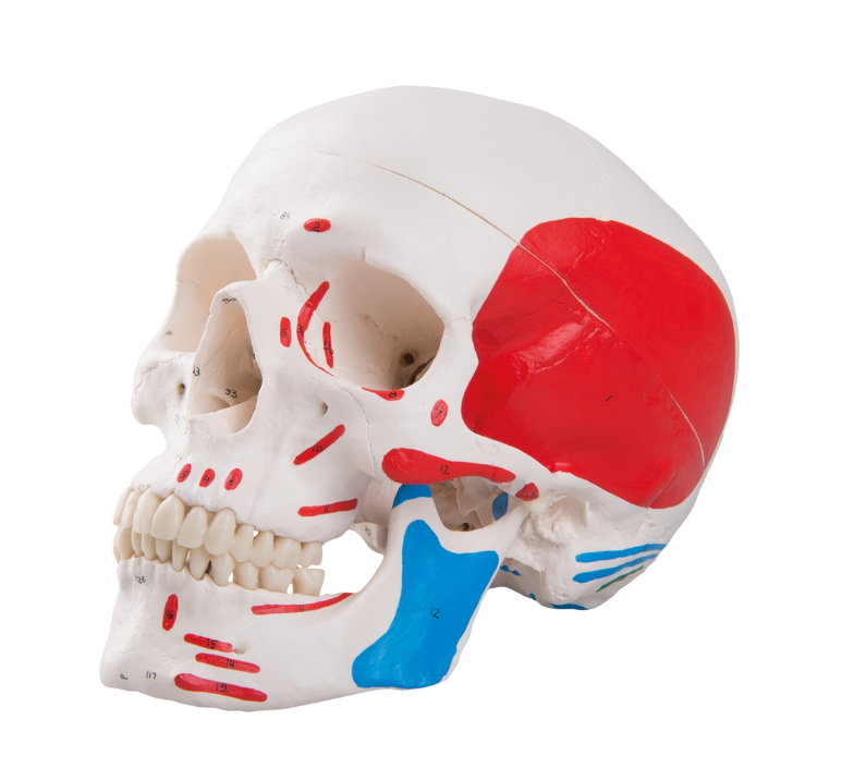 Plastic Skull Model with Muscles painted