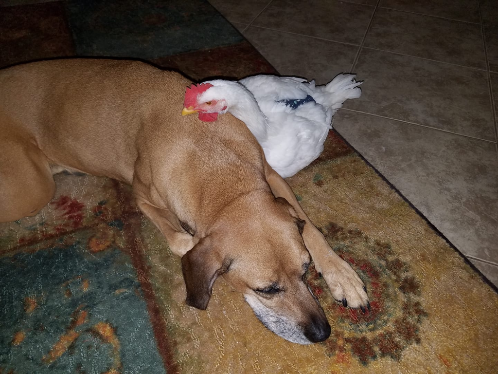 Brown dog lying on a rug with a white chicken resting its chin on the dog's back.