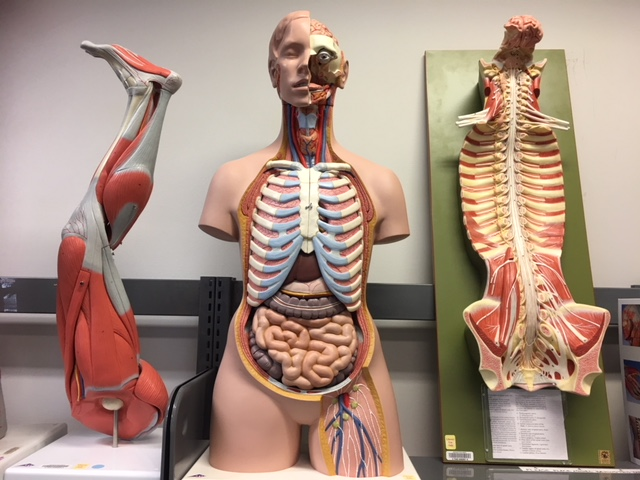 Muscle Leg, Torso, Spinal Cord with Spinal Canal