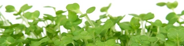 Cress [Image sourced from Pixabay, https://pixabay.com/en/bloom-catering-colorful-cooking-1239031/, copied under CC0 1.0, https://creativecommons.org/publicdomain/zero/1.0/deed.en]