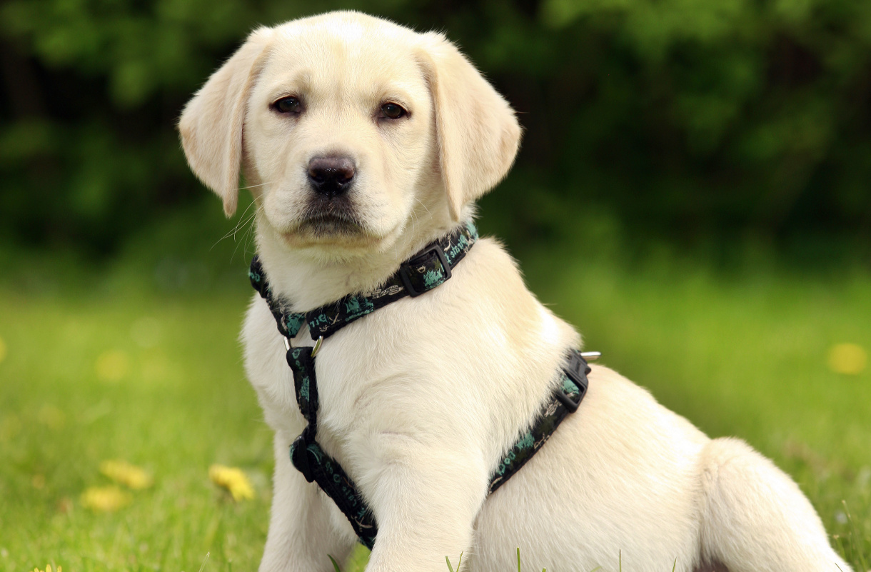 picture of labrador puppy