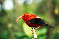 Iiwi Native Hawaiian Bird