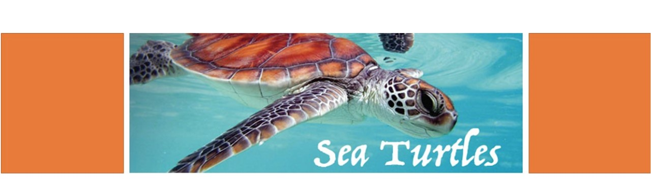 Image photo of sea turtle with text reading sea turtles