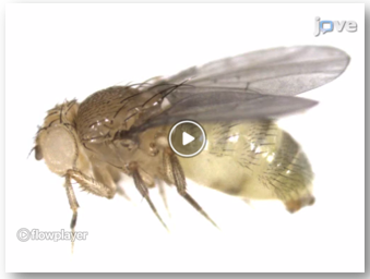 drosophila from a screen shot of an experiment in JoVE Neuroscience