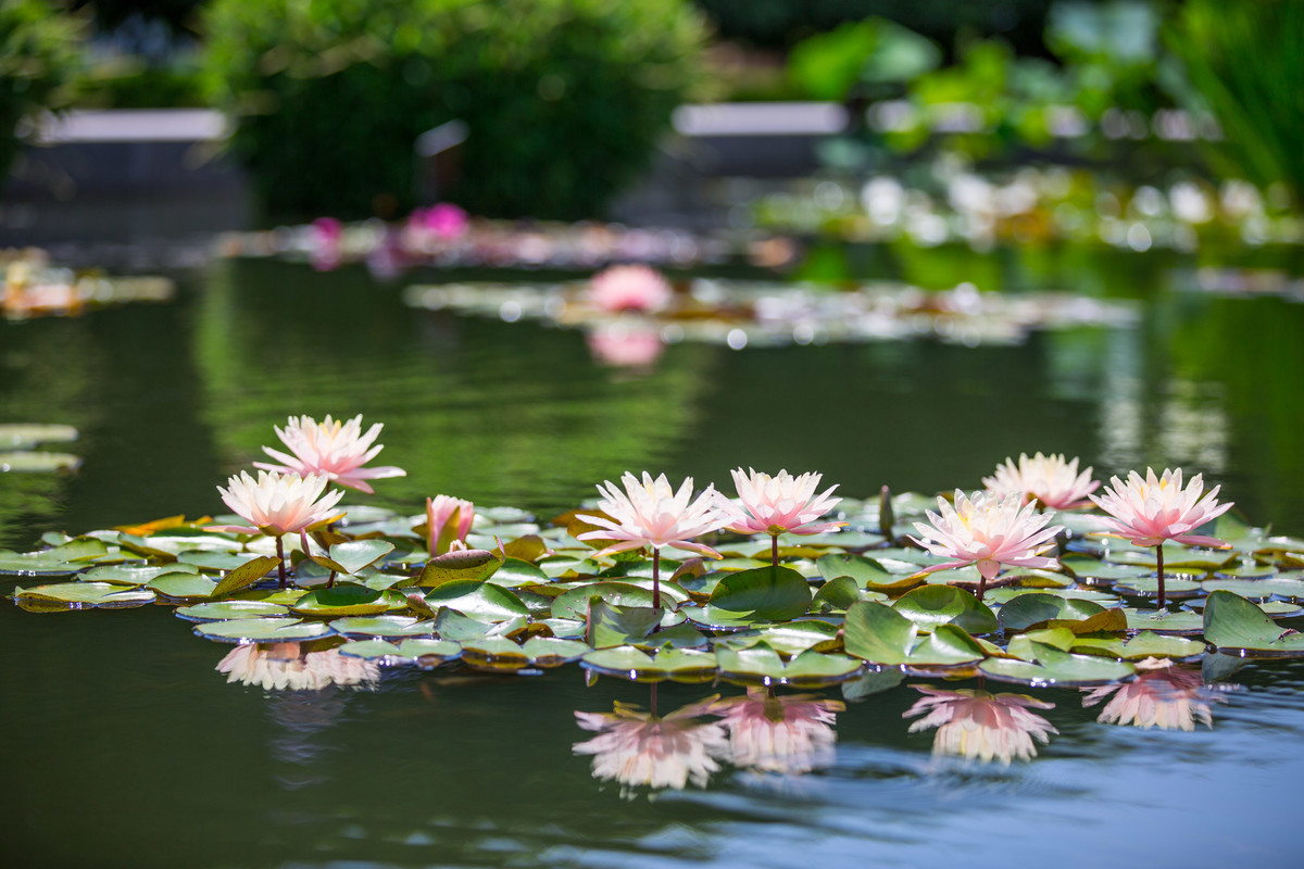 Photograph of water lilies in a pool