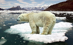 Polar Bear on Icefloe Global Warming Image