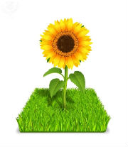 Sunflower in green grass