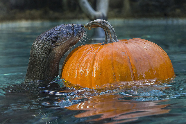 African spotted-necked otter with pumpkin enrichment