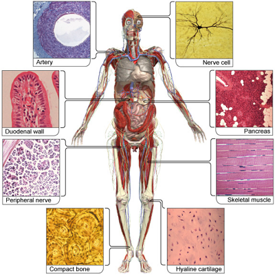 Human body with labels of different types of nerve cells