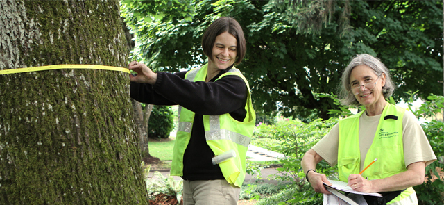 Tree circumference measuring by two women