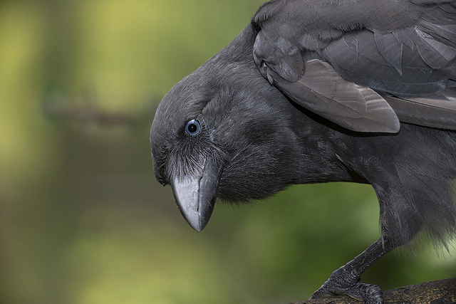 'Alala (Hawaiian Crow)