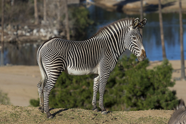 Grevy Zebra at  Safari Park