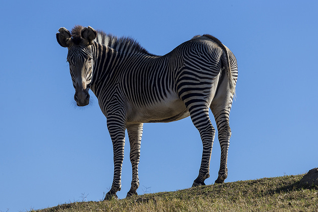 Stripes on a Grevy Zebra