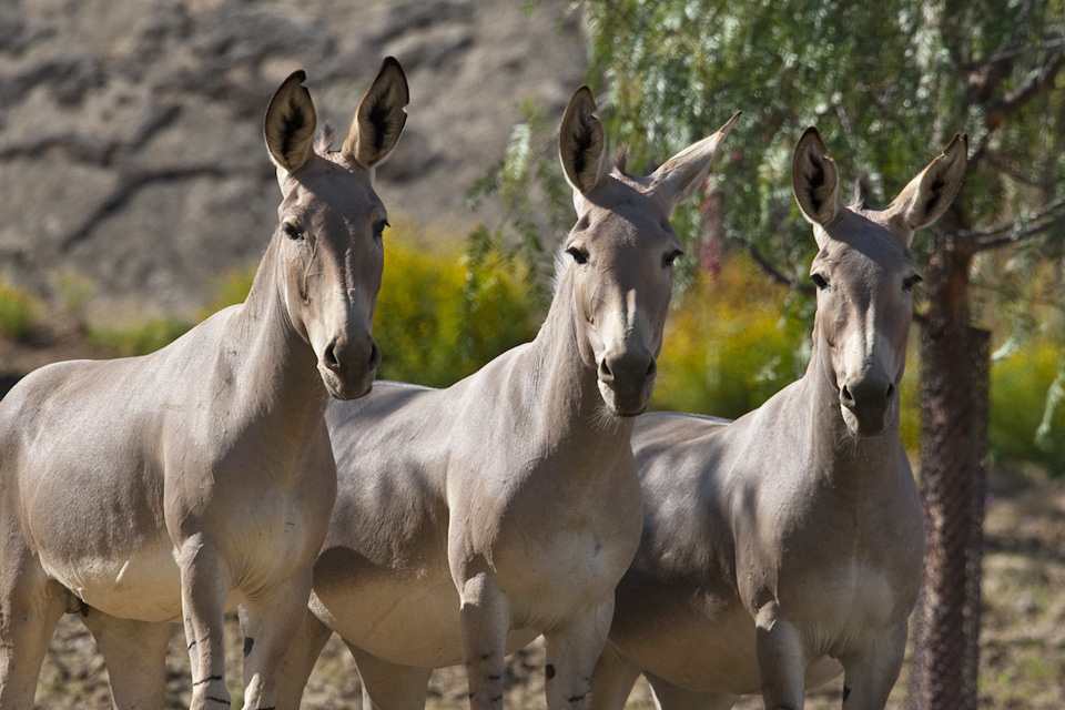 three African wild asses