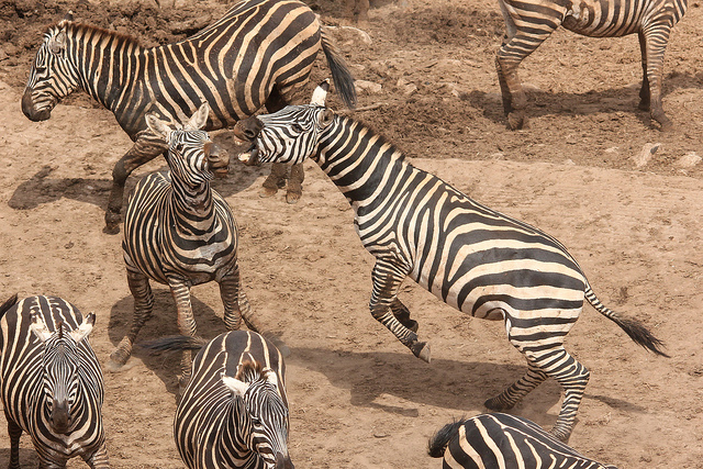 Plains Zebra fighting