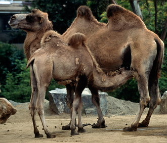 Bactrian camel calf nursing from mother
