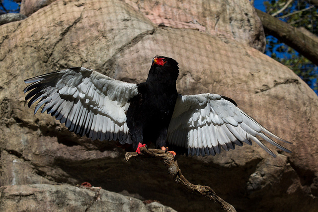 Bateleur bird on a rock