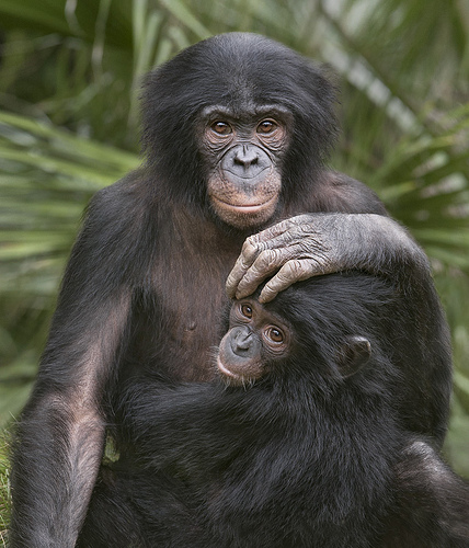 two bonobos touching