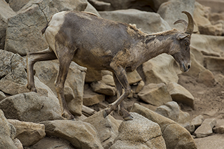 Bighorned sheep scaling rocks