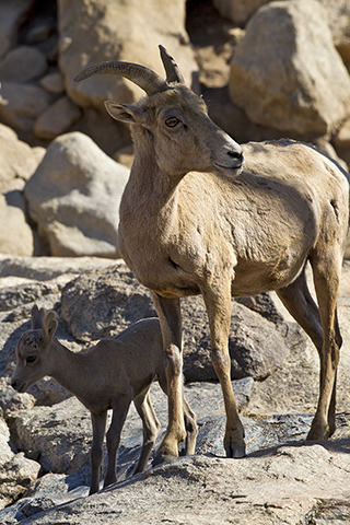 Bighorned sheep mother and young