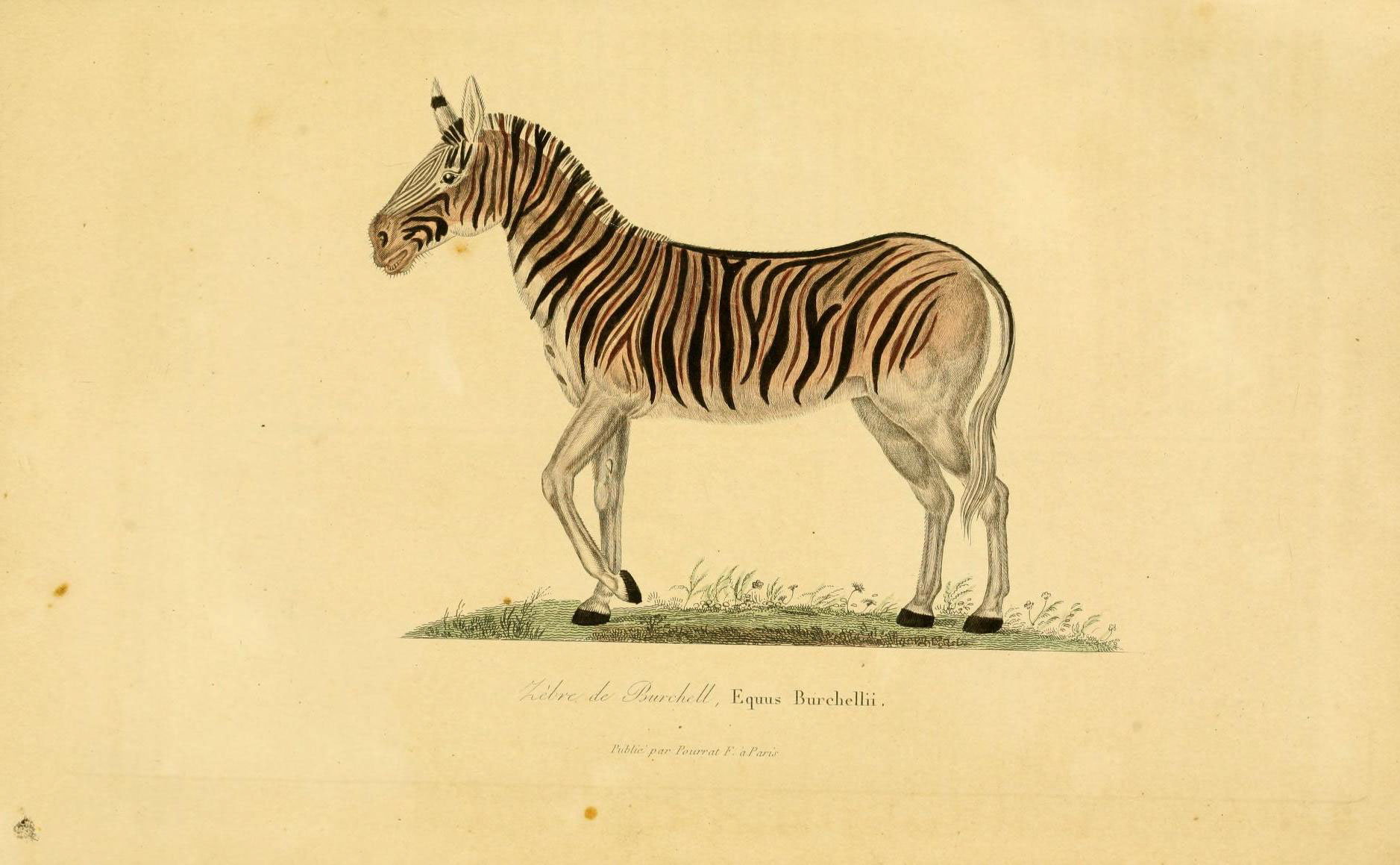 a color plate of a zebra