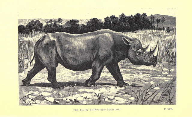 Drawing of a black rhino