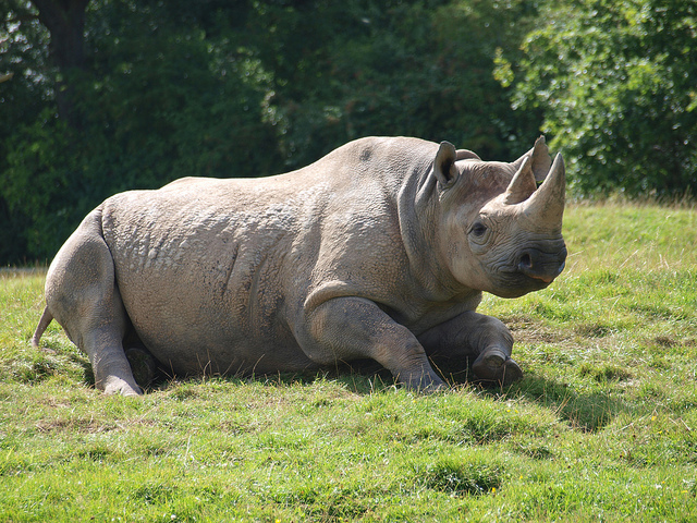 Black Rhino resting on grass