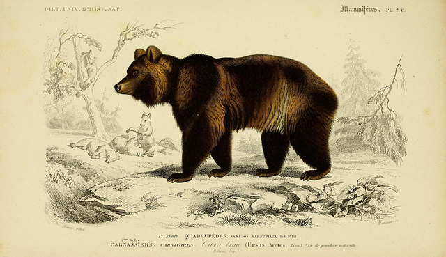 drawing of a Brown bear