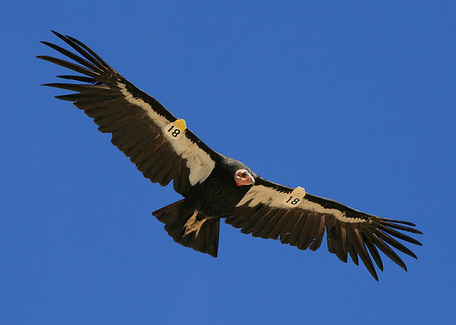 Flying CA Condor with ID tags