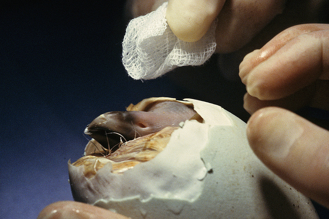 a CA Condor chick hatching
