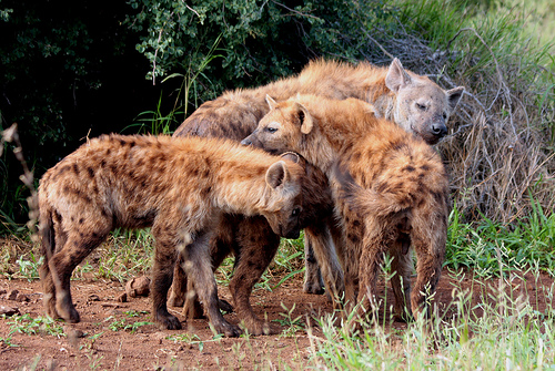 a group of  Spotted hyenas