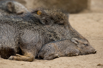 Two Chacoan Peccaries sleeping on each other