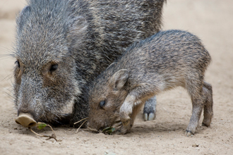 An adult and juvenile Chacoan Peccary foraging