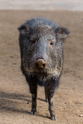 Chacoan Peccary looking at viewer