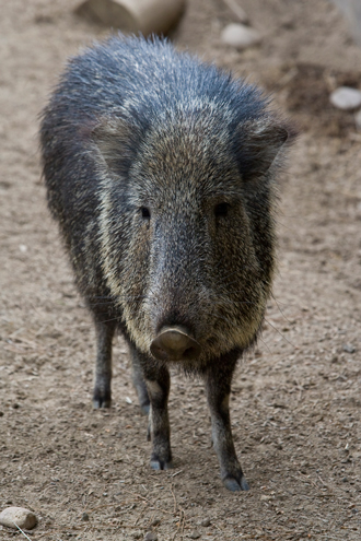 Chacoan Peccary front view