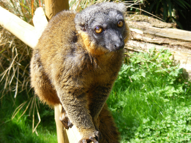 a female Collared lemur