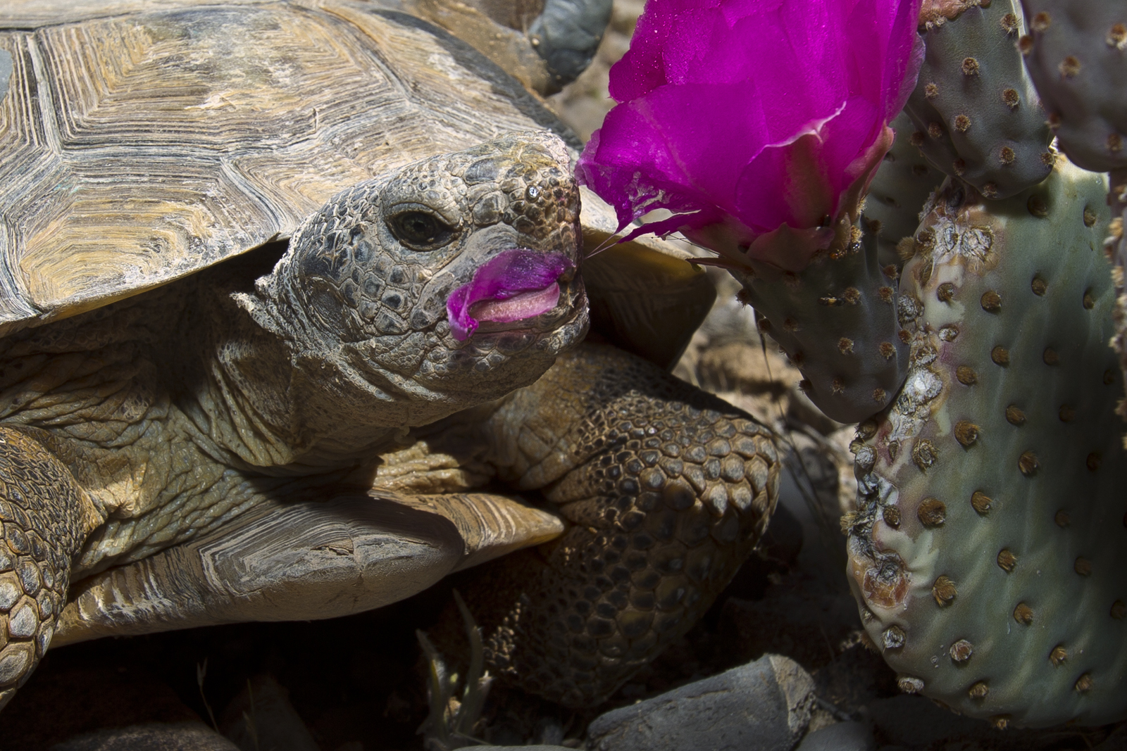 Desert tortoise eating a cactus flower