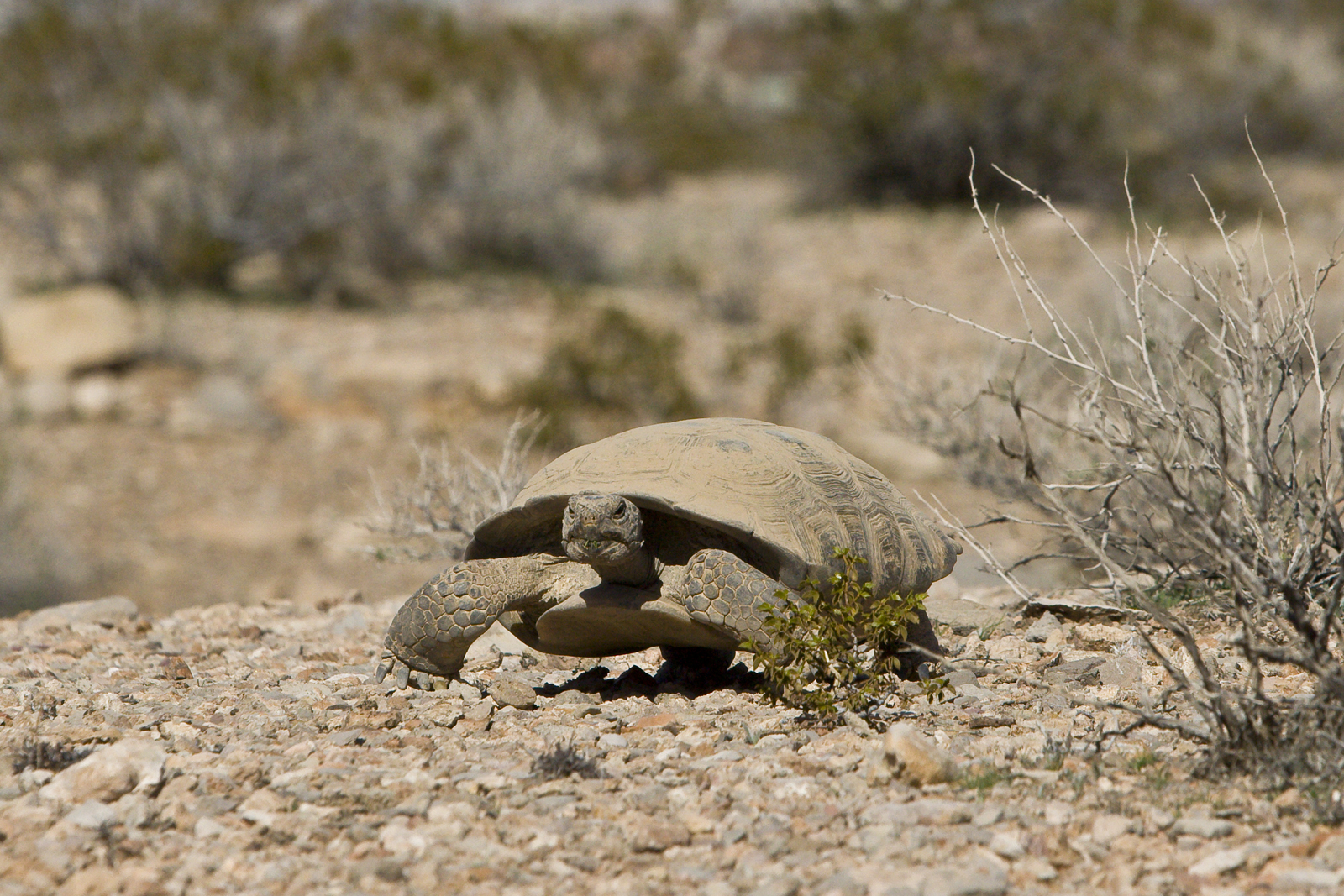 Desert tortiose