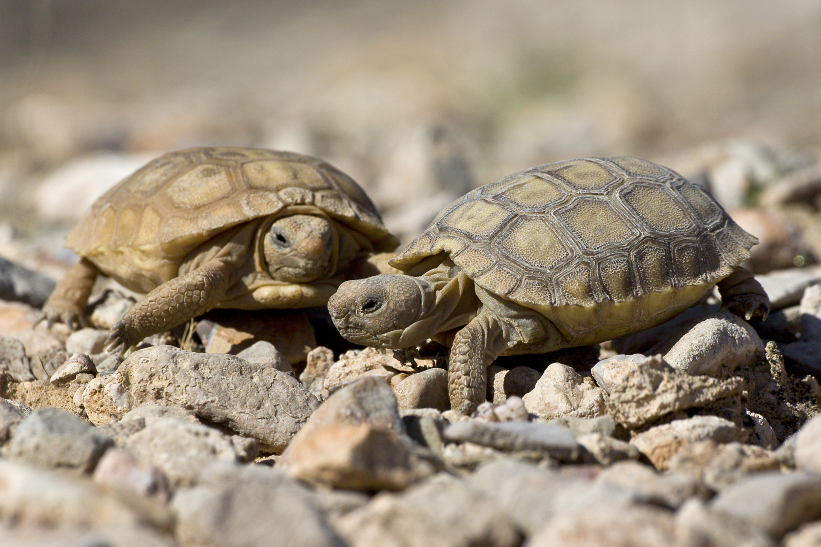 two young desert tortiose