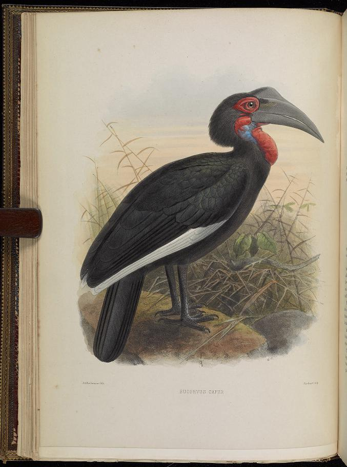 drawing of a Southern Ground Hornbill