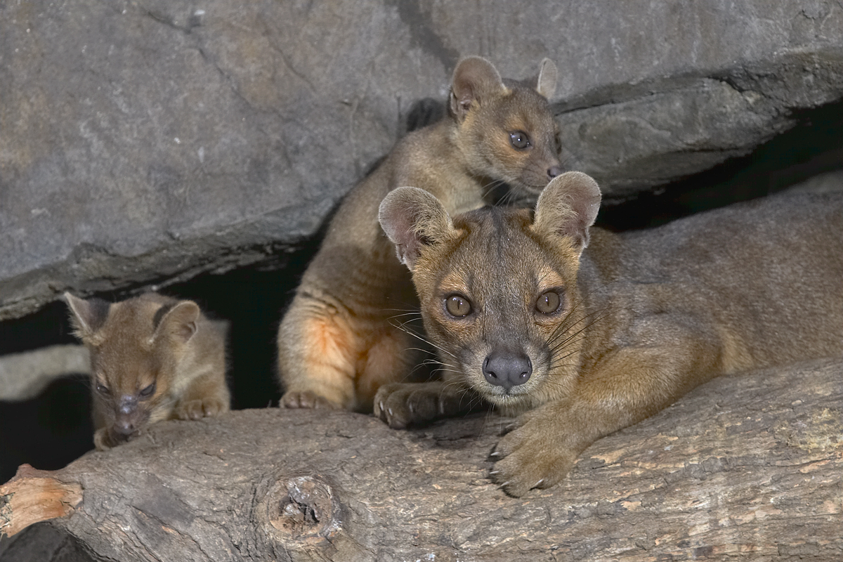 Female Fossa with cubs