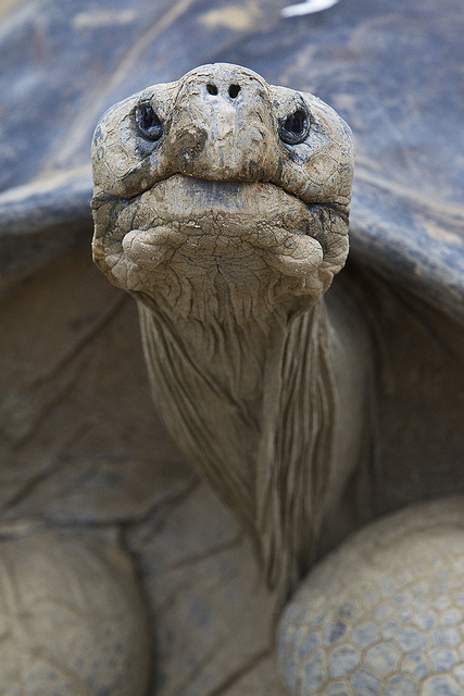 a Galapagos Tortoise up close
