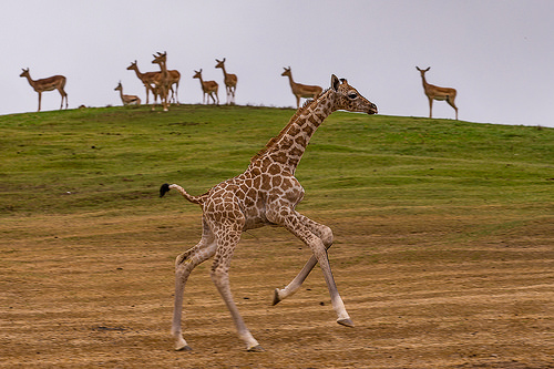 Giraffe calf galloping