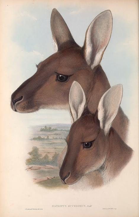 a painting of two Western Grey kangaroo