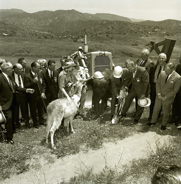 Guanaco at the ground breaking of the Safari Park