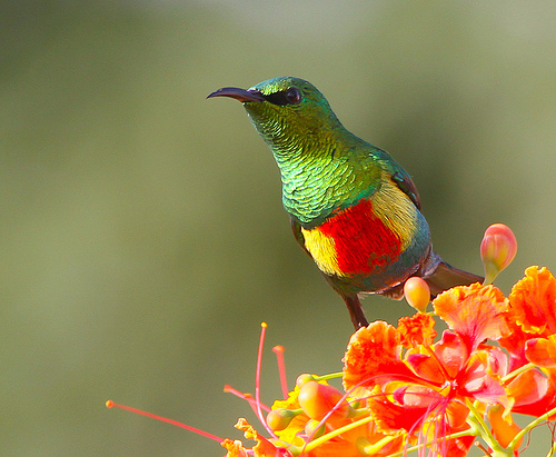 Beautiful Sunbird with orange flower