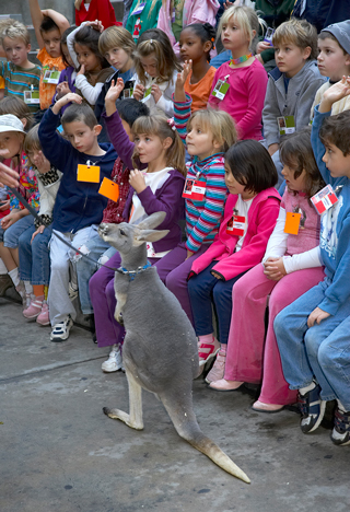 Kangaroo, education presentation at San Diego Zoo
