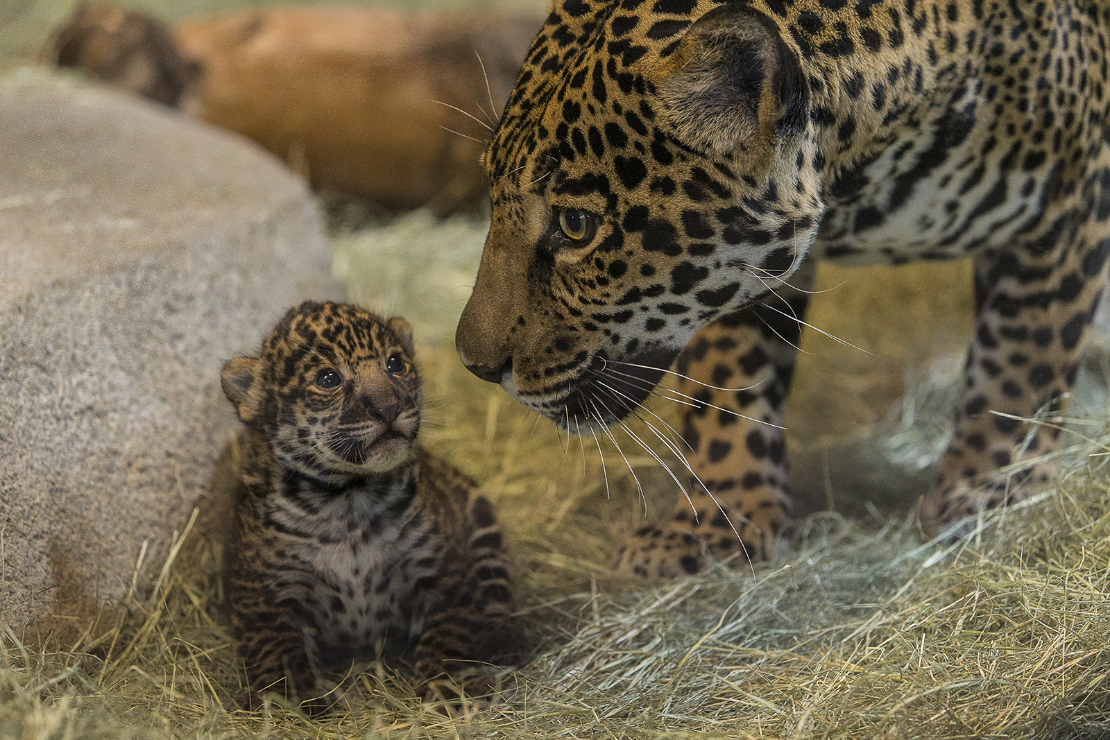 Jaguar cub and mom