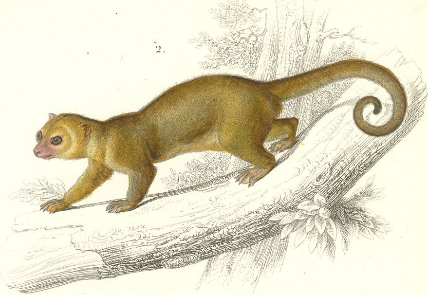 Kinkajou plate in Dictionnaire Universel d'Histoire Naturelle